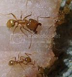 A halfway-decent image comparing a Pheidole major and minor